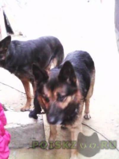 Найдена собака кобель г.Егорьевск