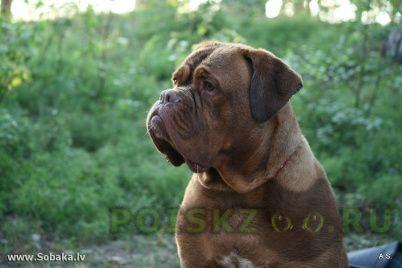 Пропала собака девочка бордосского дога г.Новосибирск
