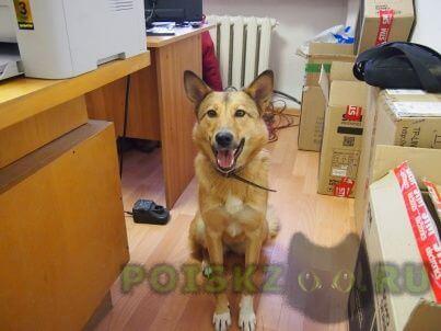 Найдена собака рыжая с белым подпалом помесь лайки г.Тюмень