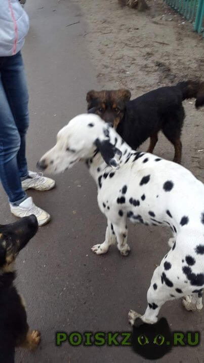 Найдена собака кобель далматин г.Волгоград