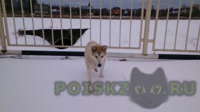 Найдена собака лаечка г.Нарофоминск