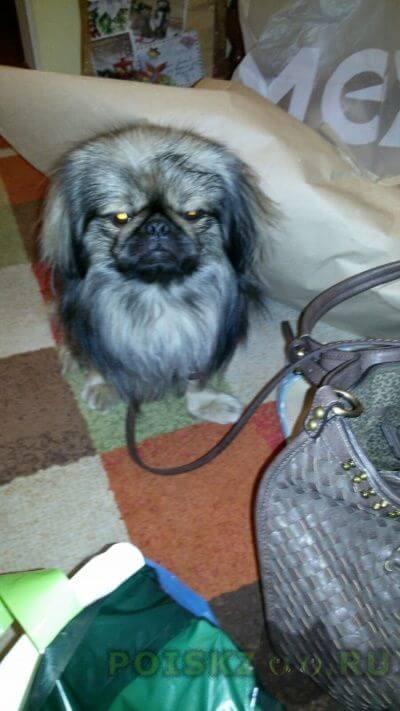 Найдена собака пекинес г.Москва