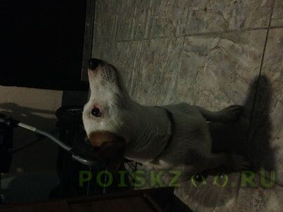 Найдена собака кобель джек рассел г.Котельники