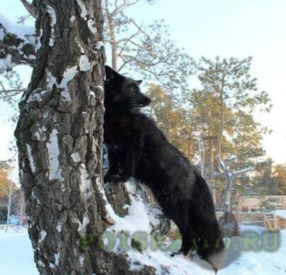 Пропало домашнее животное домашний черный лис г.Челябинск