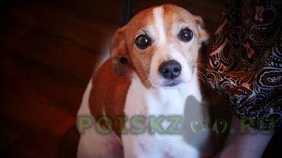 Пропала собака кобель джек рассел пиф г.Москва