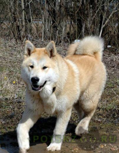 Пропала собака кобель метис лайки рыжий г.Сергиев Посад