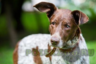 Найдена собака кобель метис курцхаара г.Москва