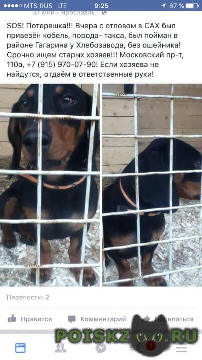 Найдена собака кобель пес- такса г.Ярославль