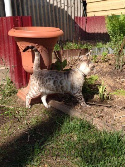 Пропал кот бенгальский окраса снежный леопард г.Нижний Новгород