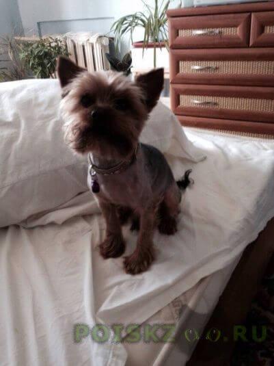 Пропала собака кобель йорк - - 7 лет г.Орехово-Зуево