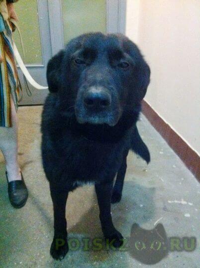 Найдена собака кобель метис лабрадора-ретривера г.Москва