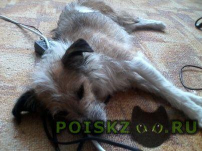 Найдена собака в аэропорту толмачево г.Новосибирск