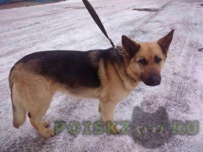 Найдена собака овчарка в районе вокзала г.Павловский Посад