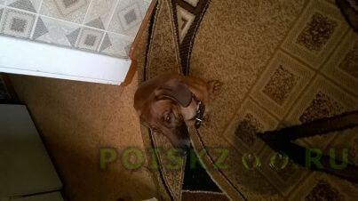 Найдена собака чья такса? г.Севастополь