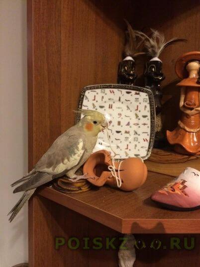 Пропал попугай г.Калуга