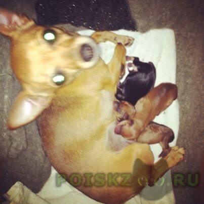 Пропала собака той-терьер г.Таганрог