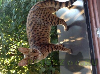 Пропала кошка г.Одинцово
