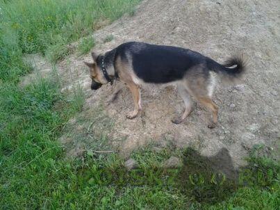 Найдена собака овчарка в надежные руки в свой дом г.Магнитогорск