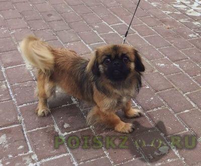 Пропала собака девочка метис пекинеса г.Москва