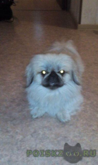 Пропала собака кобель пекинес г.Бердск