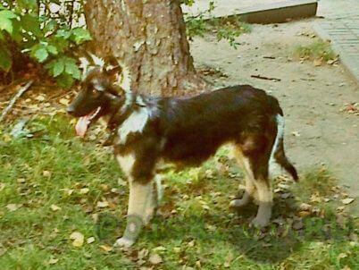 Пропала собака поиск г.Калуга
