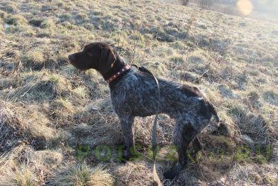 Пропала собака кобель дратхаар г. г.Нязепетровск