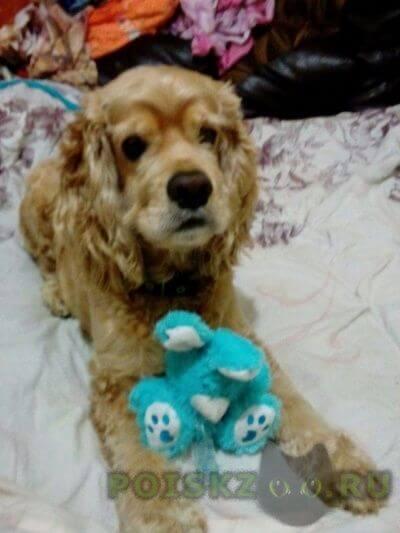Пропала собака кобель, американский кокер-спаниель окрас беживый г.Красноярск