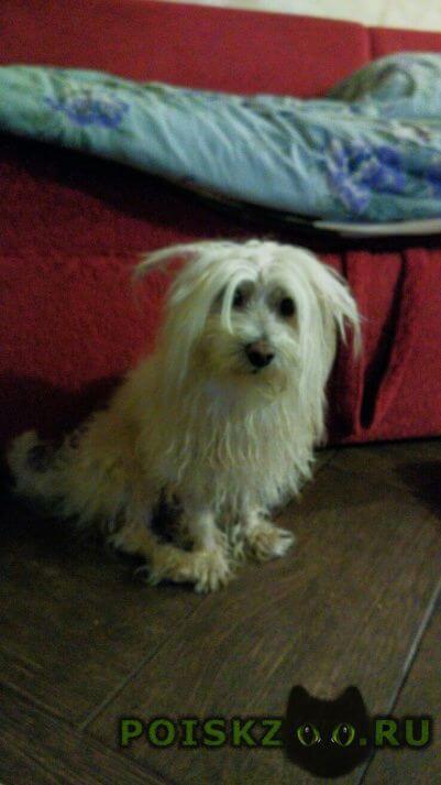 Найдена собака кобель мальтийской болонки, . г.Королев