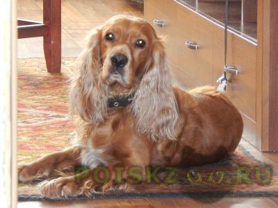 Пропала собака кобель г.Новокузнецк