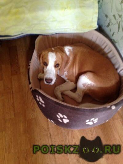 Пропала собака кобель бигль г.Форос