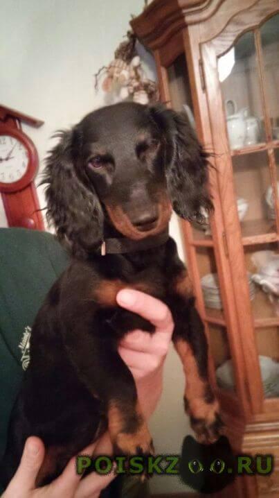 Найдена собака такса г.Новочеркасск