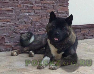 Пропала собака кобель американская акита, г.Раменское