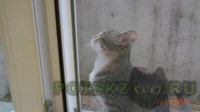 Найдена кошка кошечка (котенок до года) г.Киров (Кировская обл.)