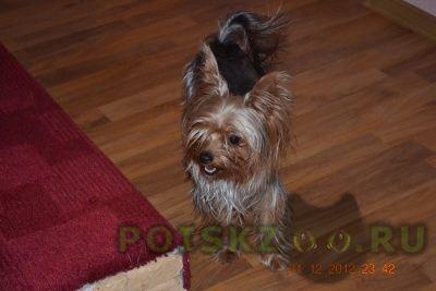 Пропала собака кобель йорк г.Красноярск