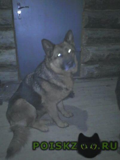 Найдена собака немецкая овчарка г.Ярославль