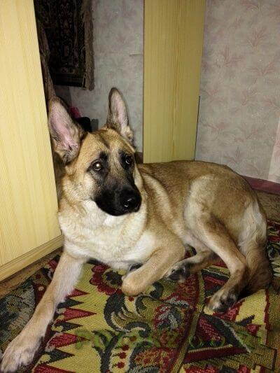 Найдена собака г.Нижневартовск