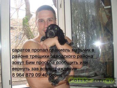 Пропала собака кобель русский спаниель г.Саратов