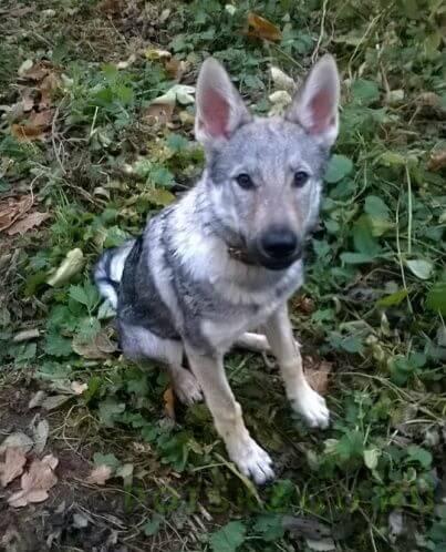 Пропала собака щенок овчарки 5 мес. клеймо. г.Красногорск