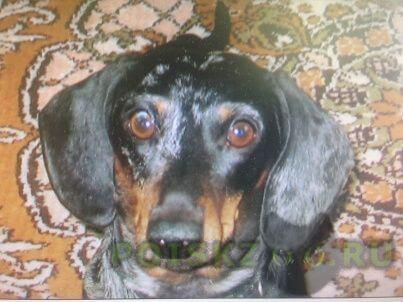 Пропала собака кобель такса г.Зеленоград