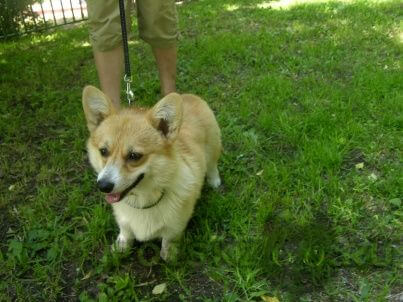Найдена собака вельш корги. г.Москва