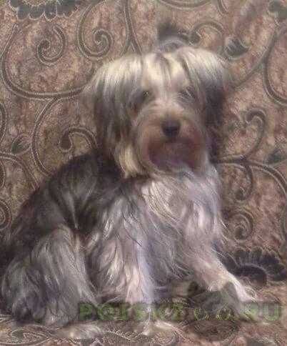 Пропала собака кобель любимец семьи йоркширский терьер г.Москва