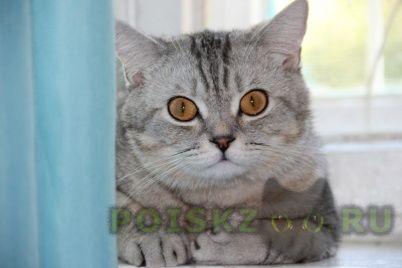 Пропал кот британский г.Красноярск