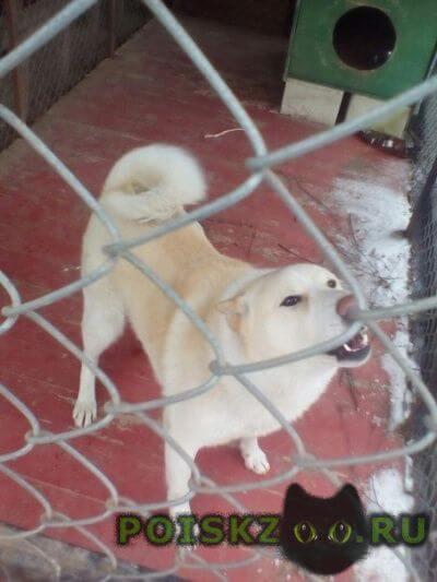 Найдена собака кобель западно-сибирская лайка г.Смоленск