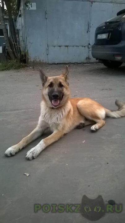 Найдена собака кобель г.Железнодорожный (Московск.)