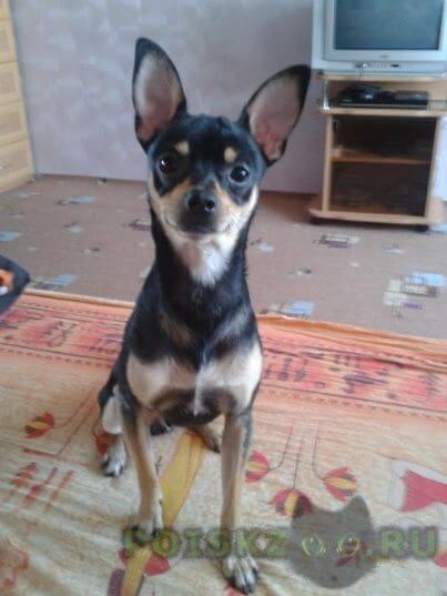 Пропала собака кобель тойчик г.Казань