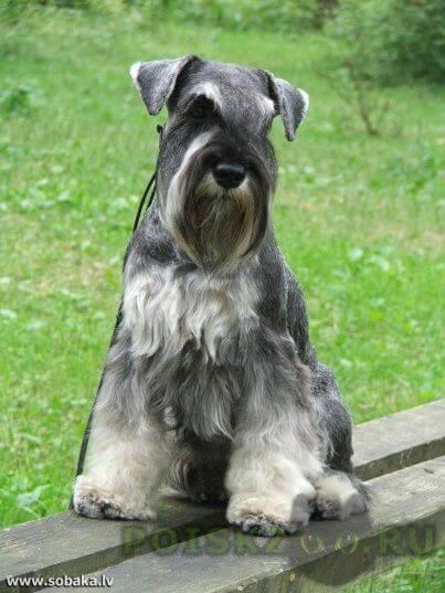 Пропала собака кобель цвергшнауцер г.Подольск