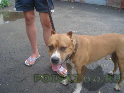 Найдена собака кобель стафф терьер г.Ростов-на-Дону