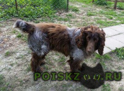 Найдена собака кобель русский спаниель г.Москва