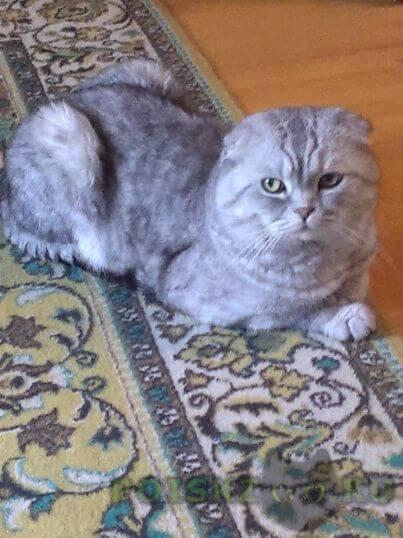 Пропал кот 27 сентября вислоухий ( ский район) г.Чехов