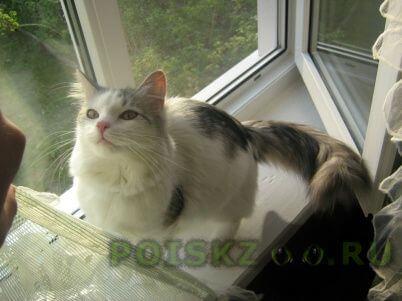 Пропала кошка г.Великий Новгород (Новгород)